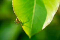 在一片绿色叶子的一只蜘蛛-象征arachnophobia 免版税库存图片