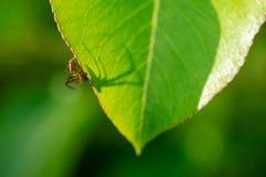 在一片绿色叶子的一只蜘蛛-象征arachnophobia 库存图片