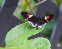 在一片绿色叶子的一只邮差蝴蝶 图库摄影