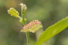 在一片绿色叶子的一条小毛虫 免版税库存图片