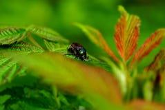 在一片绿色叶子的大棕色甲虫 图库摄影