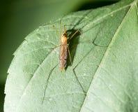在一片绿色叶子的大蚊子 免版税库存图片