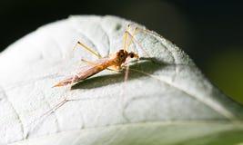 在一片绿色叶子的大蚊子 库存图片