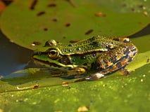 在一片绿色叶子的小水青蛙在池塘 免版税图库摄影