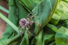 在一片绿色叶子的掠食性蜘蛛狼 库存图片