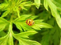 在一片绿色叶子的明亮的红色瓢虫 免版税库存图片