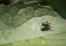 在一片绿色叶子的明亮的绿色发光的飞行 图库摄影