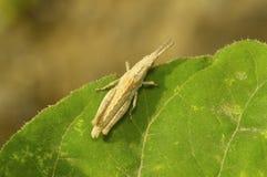 在一片绿色叶子的短的有角的棕褐色的蚂蚱在桑格利附近 库存照片
