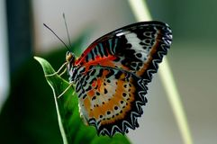 在一片绿色叶子的红色橙色和黑蝴蝶有与选择聚焦的被弄脏的backgound的 库存照片