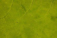 在一片绿色叶子的结构的特写镜头 库存图片