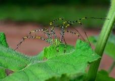 在一片绿色叶子的美丽的绿色蜘蛛 库存照片