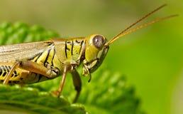在一片绿色叶子的蚂蚱 免版税图库摄影