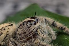 在一片绿色叶子的跳跃的蜘蛛Hyllus,极端接近  免版税库存图片