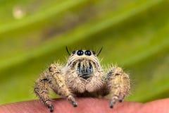 在一片绿色叶子的跳跃的蜘蛛Hyllus 免版税库存图片