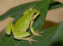 在一片绿色叶子的雨蛙。 免版税库存图片