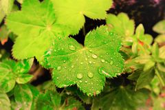 在一片绿色叶子的露水 库存照片
