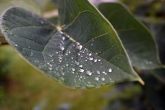 在一片绿色叶子的露水 免版税库存照片