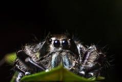 在一片绿色叶子的黑跳跃的蜘蛛Hyllus,极端接近, S 免版税库存照片