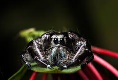 在一片绿色叶子的黑跳跃的蜘蛛Hyllus,极端接近  免版税图库摄影