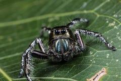 在一片绿色叶子的黑跳跃的蜘蛛Hyllus 免版税库存图片