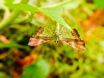 在一片绿色叶子背后的一只蝴蝶 库存图片