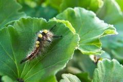在一片绿色叶子-与一根黄色羽毛的一个优美的男性的一只独特的昆虫,长毛和多彩多姿 图库摄影