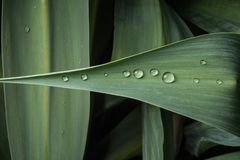 在一片绿色植物叶子的露滴 库存照片