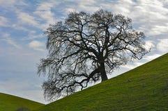 在一片草地的停止的结构树与天空 免版税库存图片
