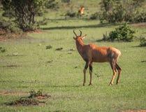在一片草地的共同的tsessebe在马塞语玛拉 免版税库存图片