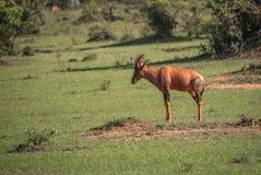 在一片草地的共同的tsessebe在马塞语玛拉 库存照片