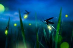 在一片草地的Firegly在晚上 图库摄影