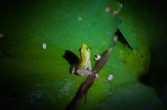 在一片莲花叶子的青蛙在晚上 免版税库存照片