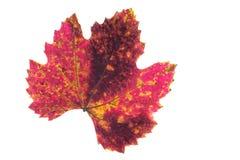 在一片藤叶子的红色黄色和棕色staind在秋天着色 库存照片