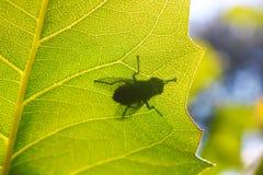 在一片透明叶子的绿头苍蝇 免版税库存图片