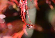 在一片鸡爪枫叶子的雨下落 图库摄影