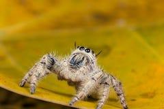 在一片黄色叶子的跳跃的蜘蛛Hyllus,极端接近  库存照片