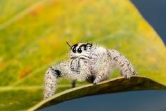 在一片黄色叶子的跳跃的蜘蛛Hyllus,极端接近  库存图片