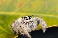在一片黄色叶子的跳跃的蜘蛛Hyllus,极端接近  免版税库存照片