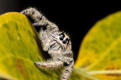 在一片黄色叶子的跳跃的蜘蛛Hyllus,极端接近  免版税库存图片