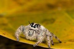 在一片黄色叶子的跳跃的蜘蛛Hyllus,极端接近  免版税图库摄影