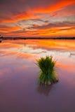 在一片稻田的日落在吉打马来西亚 免版税图库摄影