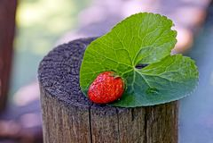 在一片绿色叶子的一个红色草莓在树桩说谎 库存图片