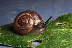 在一片绿色叶子的一只蜗牛 库存照片