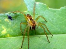 在一片绿色叶子的一只蜘蛛有它的牺牲者的 免版税图库摄影