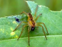 在一片绿色叶子的一只蜘蛛有它的牺牲者的 免版税库存图片
