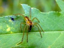 在一片绿色叶子的一只蜘蛛有它的牺牲者的 库存图片