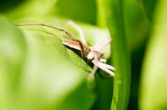 在一片绿色叶子的一只蜘蛛本质上 库存图片