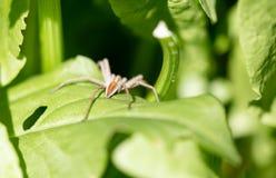 在一片绿色叶子的一只蜘蛛本质上 免版税库存图片