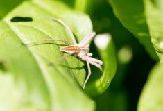 在一片绿色叶子的一只蜘蛛本质上 免版税库存照片
