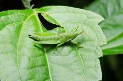 在一片绿色叶子的一只绿色蚂蚱 库存图片